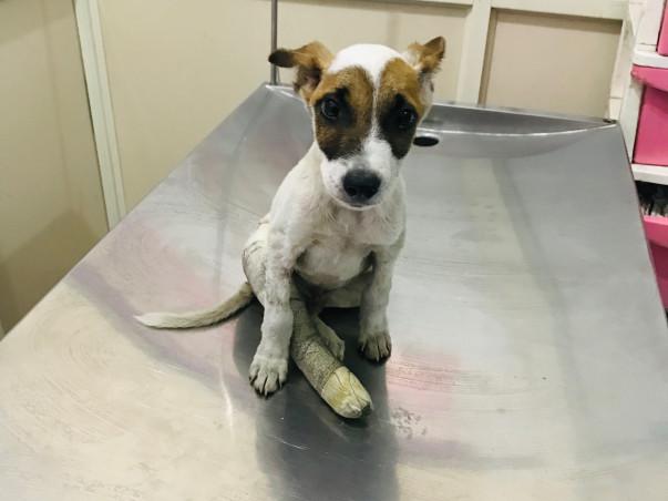 Please Save Veer, An Injured Puppy