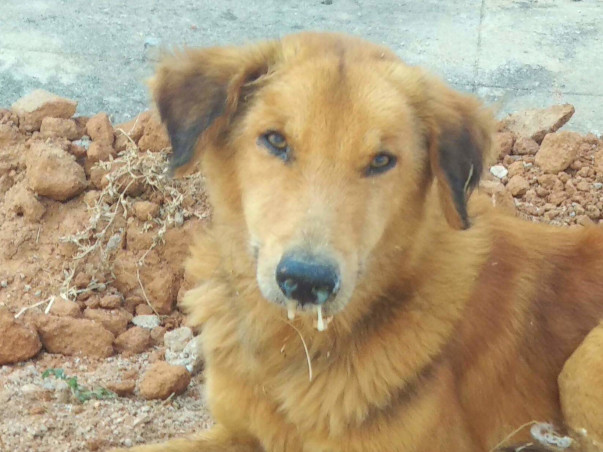 Save Dogs from Canine Distemper