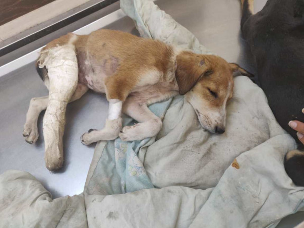 Help Toffee And Her Siblings Fight Parvo