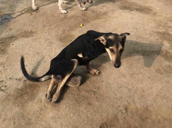 Help Pearl The Disabled Indian Stray Dog Reach Her Adopter In The USA!