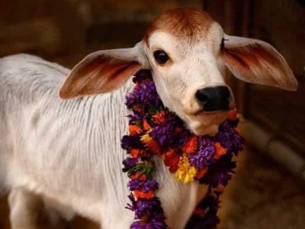 Help the helpless stray cows