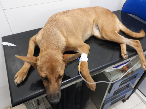 Help to save weak and dehydrated dog, Brownie's life