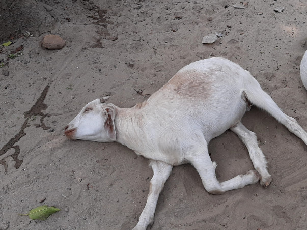 Help My Goat is Death